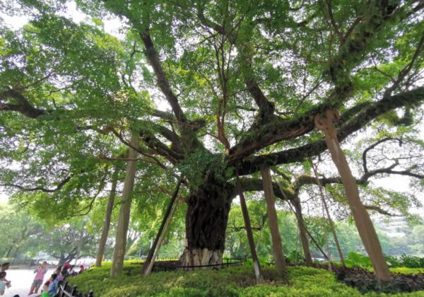 大榕树压缩图3.png